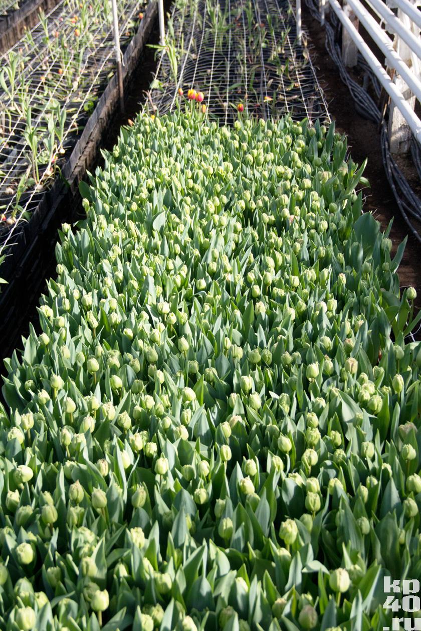 Выгонка тюльпанов 57