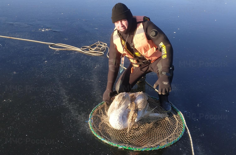 Лебедь на озере лед МЧС Людиново Калужская область